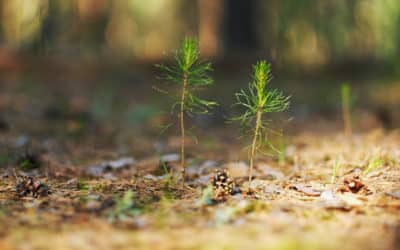 The Importance of Planting Siberian Cedars with Vladimir Megre